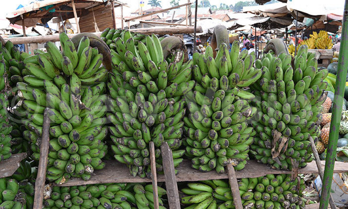 Scientists team up with government for banana project